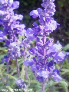 Salvia_farinacea