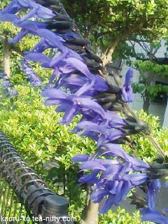 Salvia_guaranitica1