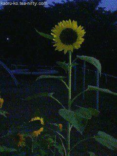 Sunflower_night